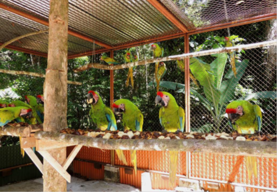 Macaws in transition aviary.