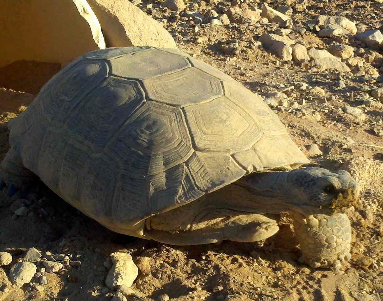 Tortoise with missing limb.