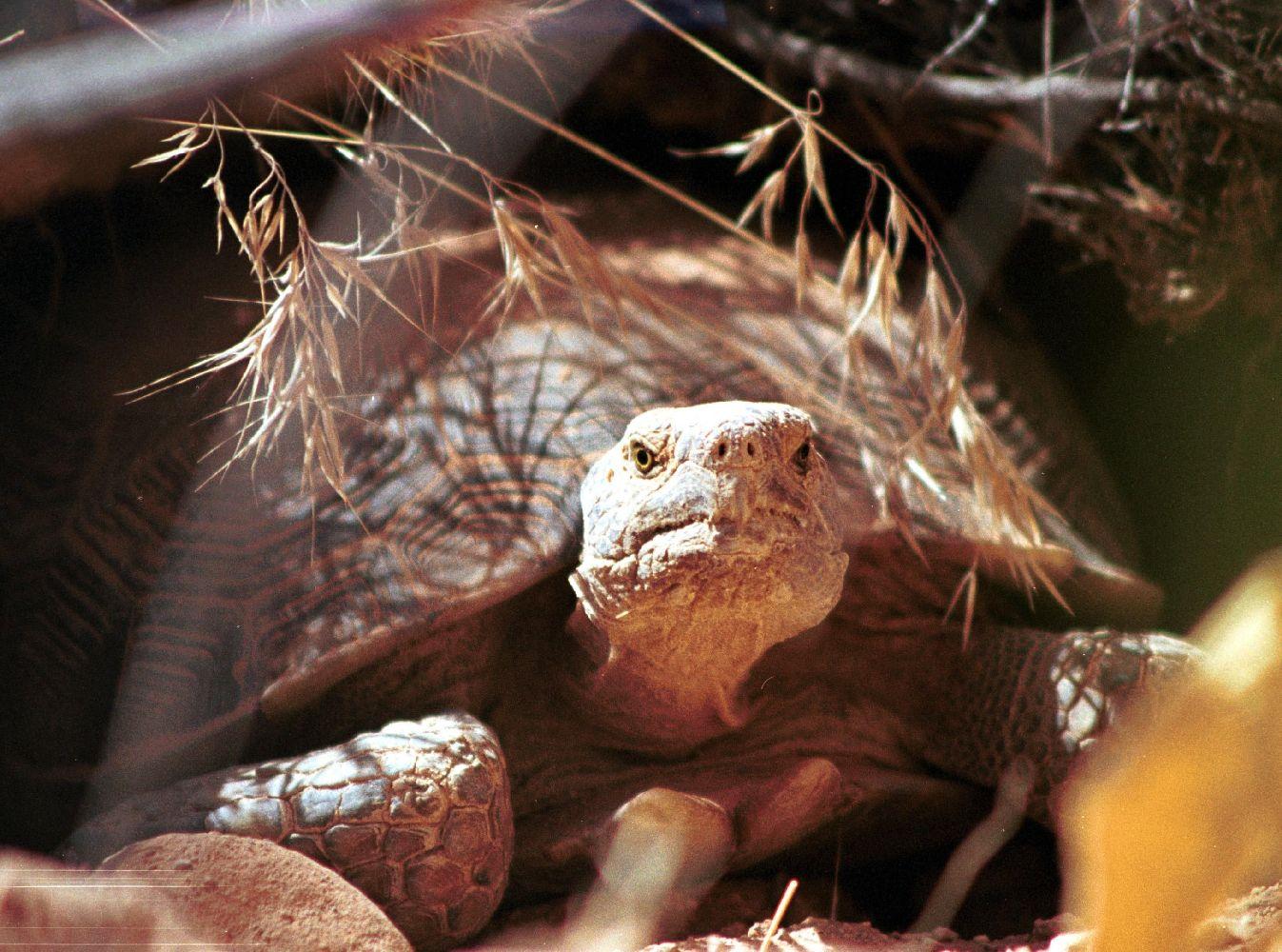 Desert_tortoise_reptile small