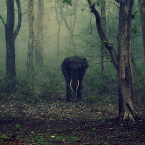 Lone elephant in Indian forest.