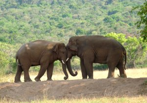 Two asian elephants head to head