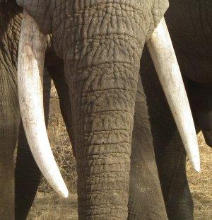 Elephant tusks.