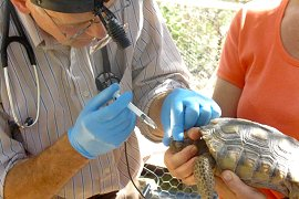Tortoise undergoing medical care.