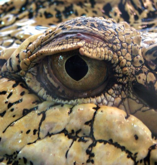 Eye of a crocodile.