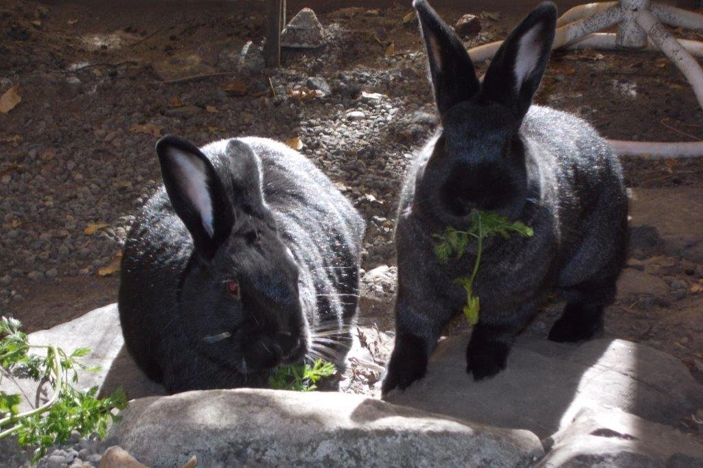 Two black rabbits